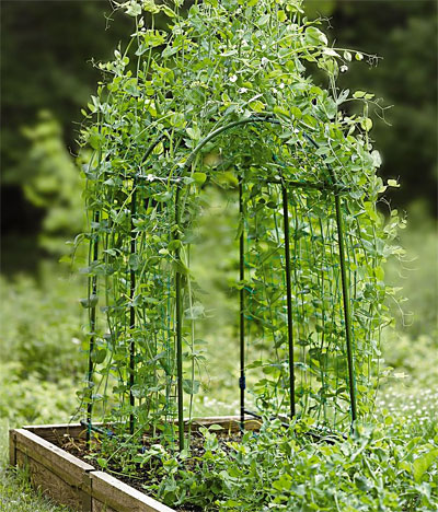 Pea Tunnel