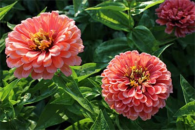 Best Zinnias For Cutting Gardener S Journal