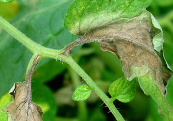 tomato leaf with late blight