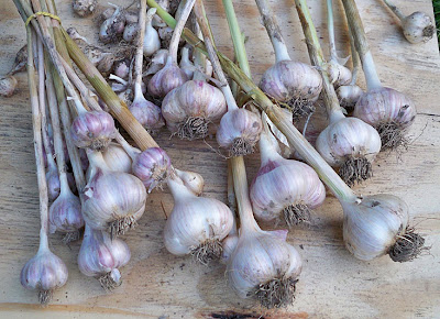 garlic bulbs