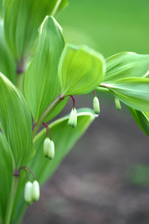 Variegated Solomon's Seal, 2013 Perennial of the Year ...