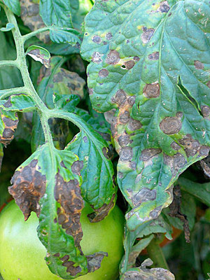 Tomato Diseases Five Solutions Gardener S Supply