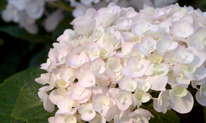Prune Hydrangea Bushes At The Right Time Gardener S Journal