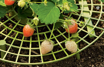 Enjoy Clean Blemish Free Berries With New Strawberry