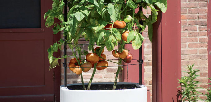 I Am Often Asked The Question, U201cWhich Tomatoes Can I Grow In Containers?u201d  The Exciting Answer: U201cAny Ones That You Crave!u201d This Doesnu0027t Mean That You  Can ...
