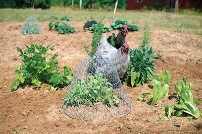 A chicken wire cloche keeps chickens away from herb plants