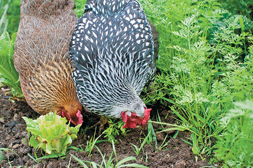 Chickens pecking in soil in summer garden.