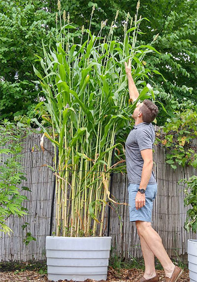 Sorghum Thrives in Revolution Planter — and the Canes Make a Beautiful Pea Trellis